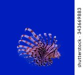 Red Lionfish. Pterois Miles....