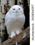 Snowy Owl  Nyctea Scandiaca