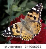 Painted Lady  Cynthia