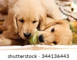 Stock photo golden retriever puppies playing with a tennis ball 344136443