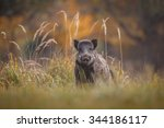 Wild Boar In Long Grass  Autum...