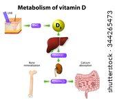 metabolism of vitamin d....   Shutterstock . vector #344265473