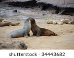 Kissing Sea Lions In The...