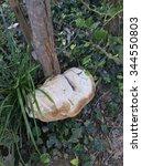 Small photo of Galerina marginata toadstool on fallen tree, macro, selective focus