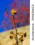Small photo of Closeup of dried brown seed heads of lesser burdock or Arctium minus plants against a blue sky on a sunny day, Armenia