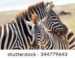 a baby zebra  equus quagga  and ... | Shutterstock . vector #344779643