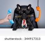 Boss French Bulldog Dog   ...