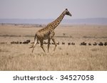 Small photo of Giraffe on the Plains of the Maasia Mara