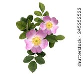 Rosehips  Blossom  Dog Rose ...