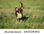 Stock photo chihuahua puppy playing with a tennis ball 345539393