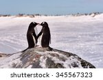Two Gentoo Penguins  Pygosceli...