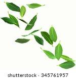 fresh green bay leaves ... | Shutterstock . vector #345761957