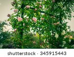 Stock photo bush of beautiful climbing roses in a garden filtered shot 345915443