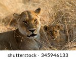 Lion With Cub In Botswana