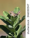Small photo of Threatened Grasshopper Sparrow (Ammodramus savannarum) on milkweed