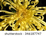 Full Blooming Chrysanthemum...