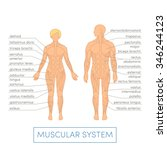 muscular system of a human.... | Shutterstock .eps vector #346244123
