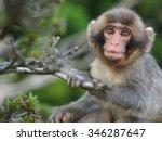 Melancholic Japanese Macaque