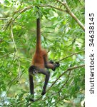 Costa Rican Spider Monkey Male...