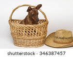 Small photo of Cute Pinscher sitting in a basket.