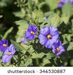 Delicate  Gentian  Blue Flower...