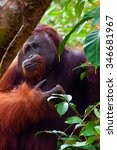 Small photo of Alpha male orangutan eating portrait front seen in the jungle of national park Tanjung Puting, Kalimantan, Borneo, Indonesia