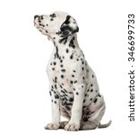 Dalmatian Puppy Sitting In...