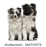Shetland Sheepdog Puppies...