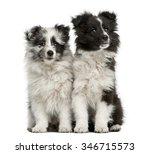 Shetland Sheepdog Puppies...