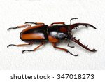 Stag Beetle Isolated On...