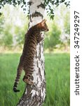 Toyger Cat Climbing A Tree....