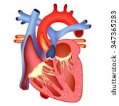medical structure of the heart... | Shutterstock . vector #347365283