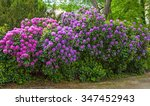 Beautiful Pink Rhododendron...