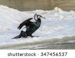 cormorant  phalacrocorax carbo  ... | Shutterstock . vector #347456537