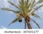 Date Palm With Ripening Bunche...