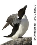 Small photo of Razorbill Alca Torda with outstretched wings standing on edge of cliff isolated on white background