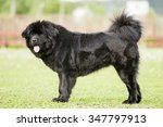 black tibetan mastiff   Shutterstock . vector #347797913