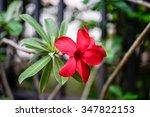desert rose impala lily  mock...   Shutterstock . vector #347822153