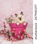 Stock photo two cute rag doll kitten baby cats in a pink flower pot on a pink background 347940197