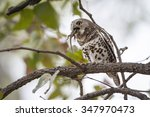Small photo of African barred owlet in Kruger national park, South Africa ; Specie Glaucidium capense family of Strigidae