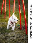 Small photo of West highland white terrierdog doing agility - running slalom. Agility slalom