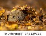 A Little Hedgehog Under Some...