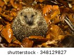 A Little Hedgehog Curled Up In...