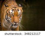 Sumatran Tiger Close Up.