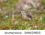 Small photo of American Pipit standing in a meadow, Newfoundland, Canada