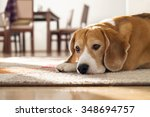 Beagle Dog Lying On Carpet In...