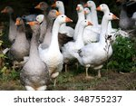 Domestic geese graze on...