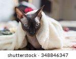 canadian sphynx cat is sitting...   Shutterstock . vector #348846347