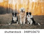 Stock photo three dogs golden retriever and two border collies sitting on the field 348910673