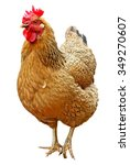 brown hen isolated on a white... | Shutterstock . vector #349270607